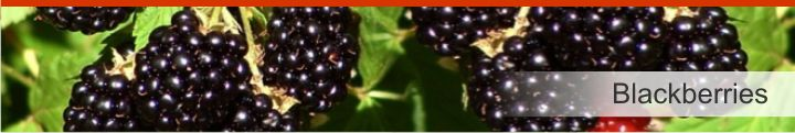 Image of Blackberry from a list of 10 plants used by Native Americans for health