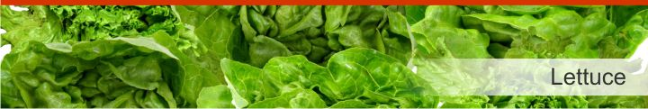 Image of lettuce from a list of 15 foods high in electrolytes for good hydration